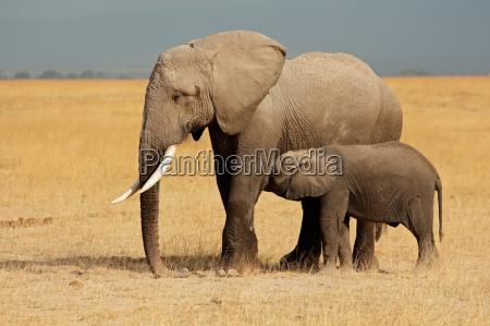 afrikanischer, elefant, mit, kalb - 10094120