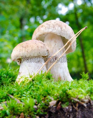 pilz pilze herbst steinpilze