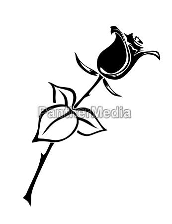 blume rose pflanze bluete erbluehen bluehen