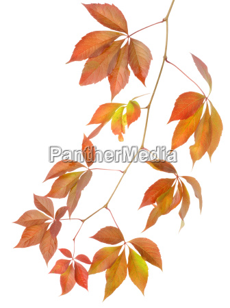 blatt baumblatt freisteller baum braun braeunlich