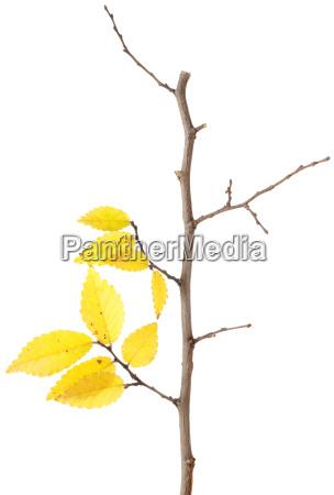 gelber herbstzweig isoliert