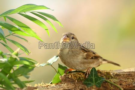 the common sparrow passeridae