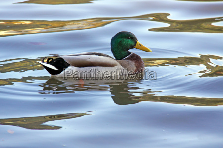 mallard drake in the evening light
