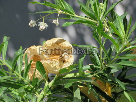 baumwoll seidenpflanze gomphocarpus fruticosus