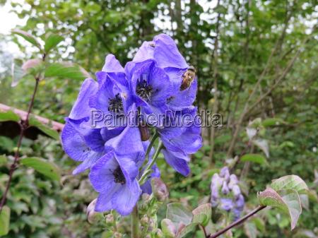 blauer eisenhut aconitum napellus