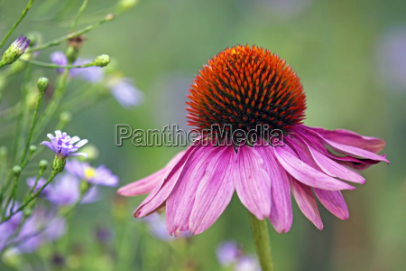 echinacea purpurea along with asters