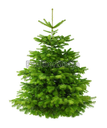 perfect dense fir isolated without shadows