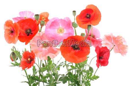 various poppies different corn poppys