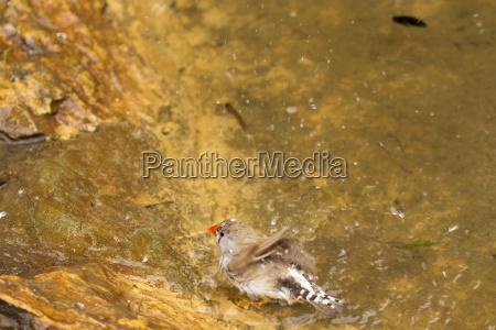 buntfink badet