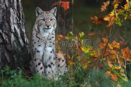 der luchs lynx