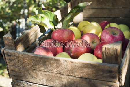 aepfel in einer alten holzkiste auf