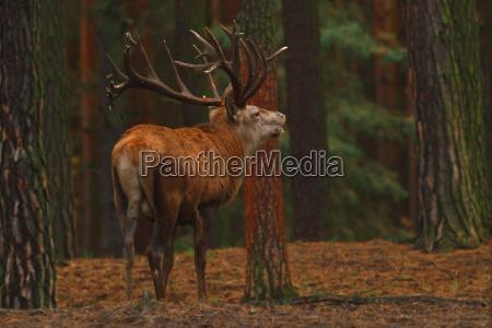 the red deer cervus elaphus