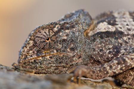 chamaeleon botswana