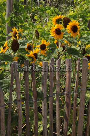 sonnenblumen hinter einem zaun