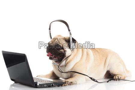 mops hund mit laptop