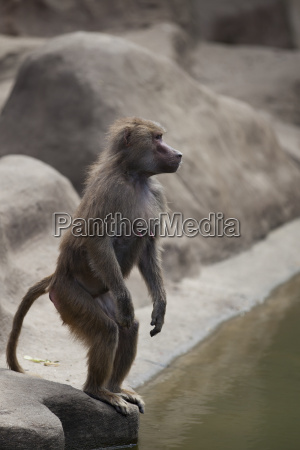 monkey on the water