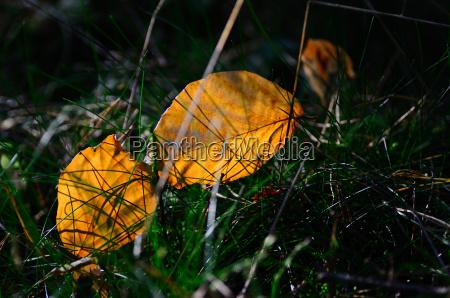 gelb leuchtende herbstblaetter