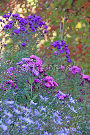 asters in the autumn garden