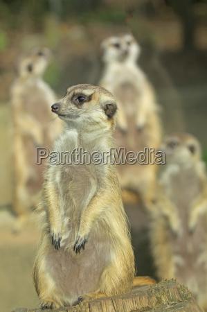 group of suricatta