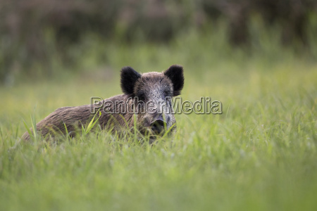 boar in the wild