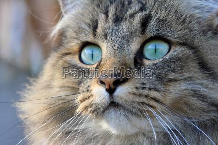 a pretty norwegian cat