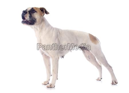 amerikanisch hund amerikaner welpe bulldogge bulldog