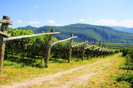 vineyard in south tyrolrn