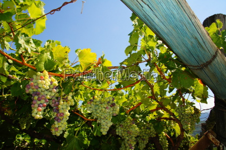 muscatel grapes in south tyrolrn