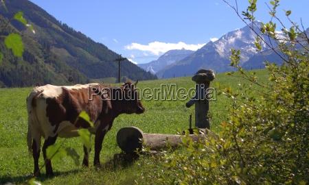 pinzgauer rind rauris kuh alpen traenke