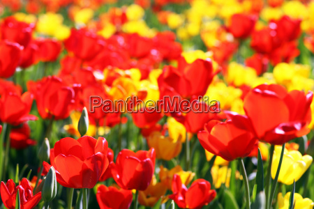red yellow tulips splendor