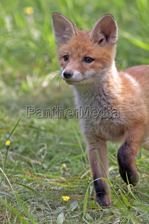 young fox in the clearing