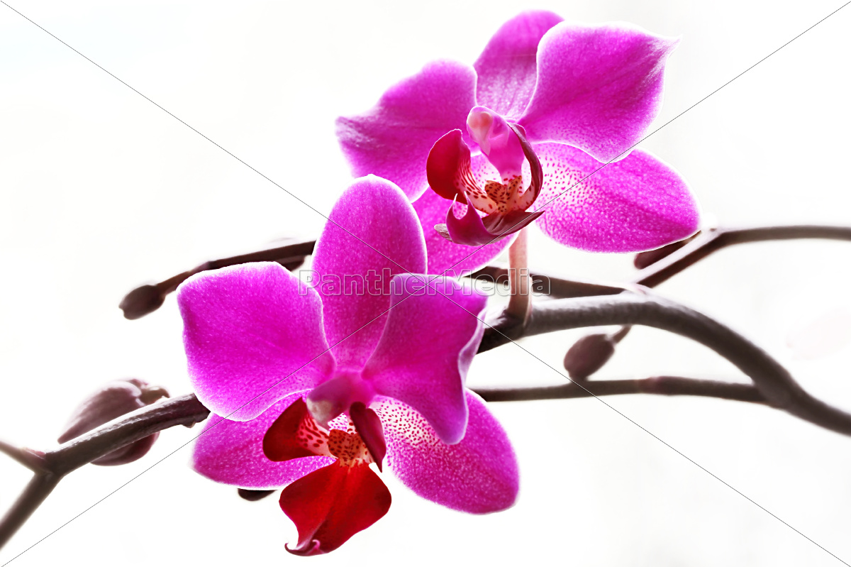 Orchideen in pink orchideen in rosa lizenzfreies bild lizenzfreies bild 10439033 orchideen in pink orchideen in rosa thecheapjerseys Choice Image