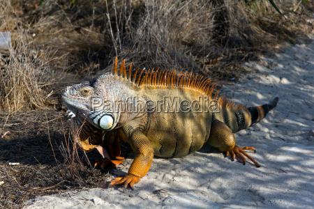 leguan echse eidechse reptil sauerier haustier