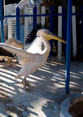 pelikan wasser vogel wasservoegel pelikane voegel