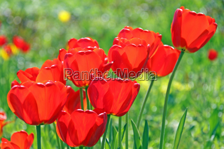 red tulips diagonally
