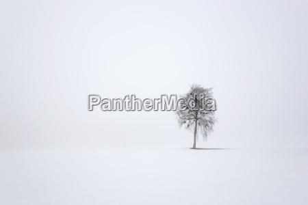 baum birke im winternebel