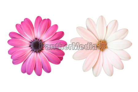 rosa und weisse margerite auf weissem