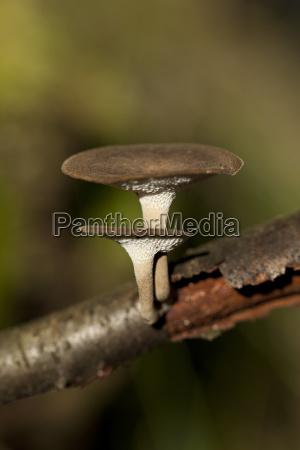polyporus ciliatus