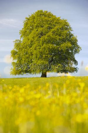 grosse buche als einzelbaum in fruehlingswiese