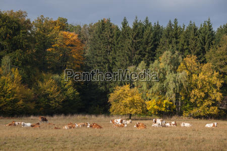 herd of cattle in autumn on