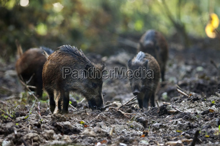 boars in the clearing