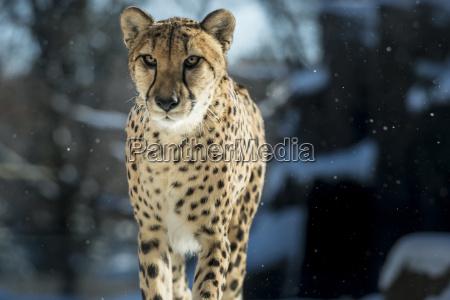 gepard