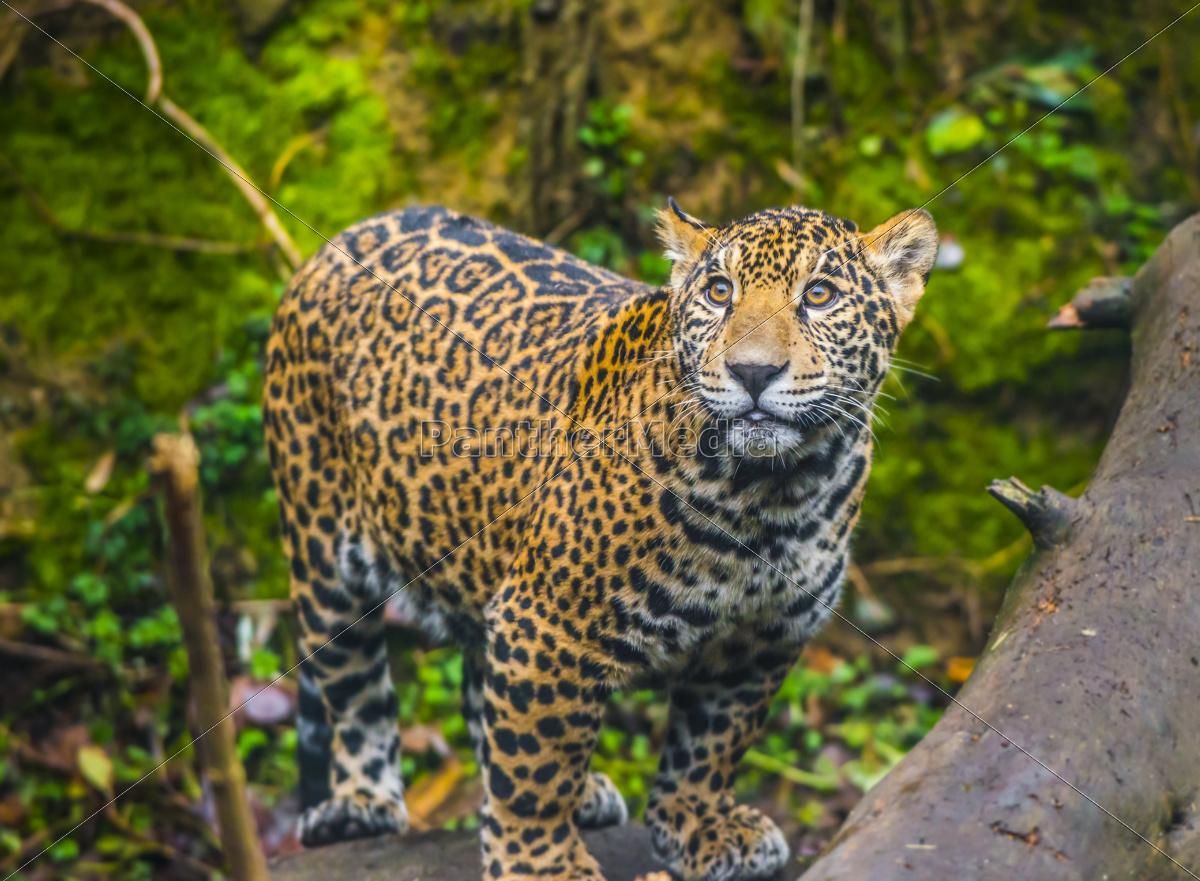 Jaguar Lebensraum