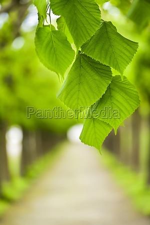 gruene blaetter vor baumallee