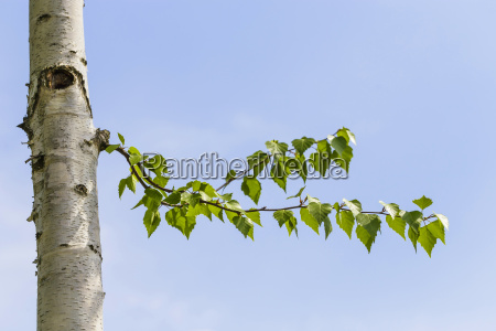 birken blaetter vor blauem himmel