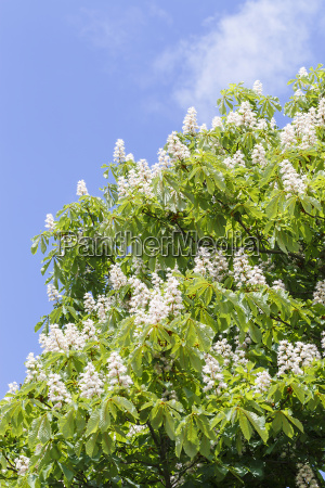 kastanienbaum blueten vertikal