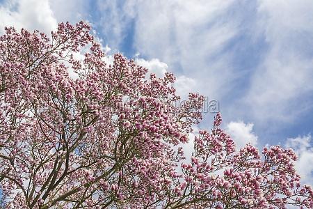 halb magnolien halb himmel