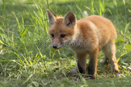 fox in the wild in the