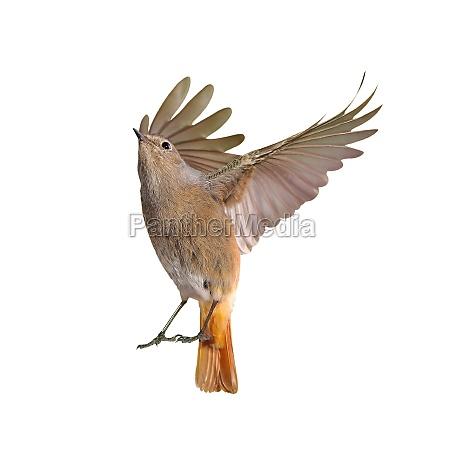 freisteller vogel abgeschieden isolierte fittiche hintergrund
