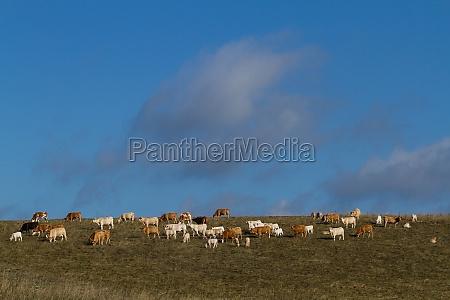 kkuhherd on the meadow